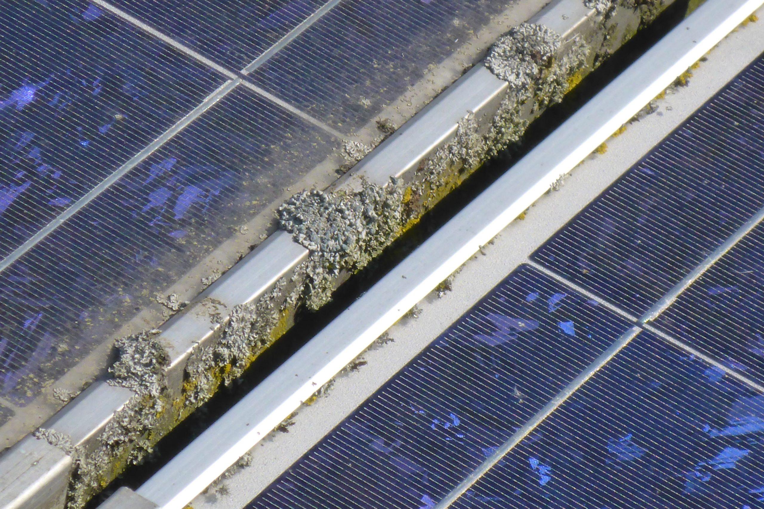 Photovoltaikmodule mit Bewuchs von Algen und Flechten.